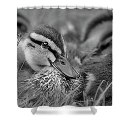 Shower Curtain featuring the photograph Ducklings Cuddling Bw by Susan Candelario