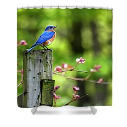 Eastern Bluebird Shower Curtain by Christina Rollo