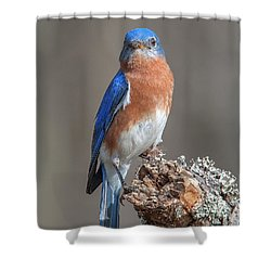 Eastern Bluebird Dsb0300 Shower Curtain