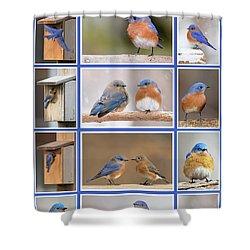 Eastern Bluebird Poster Shower Curtain
