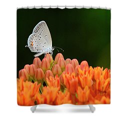 Eastern Tailed Blue On Butterfly Weed Shower Curtain