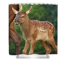 Elk Calf Arrives Shower Curtain