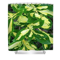 Euonymus Blondy Shrub 2 Shower Curtain