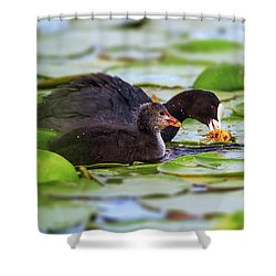 Eurasian Or Common Coot, Fulicula Atra, Duck And Duckling Shower Curtain