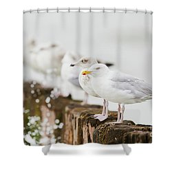 Shower Curtain featuring the photograph European Herring Gulls In A Row  by Nick Biemans