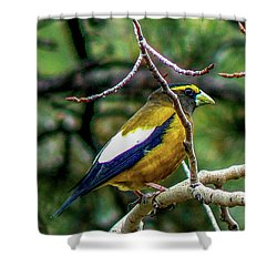Evening Grosbeak On Aspen Shower Curtain
