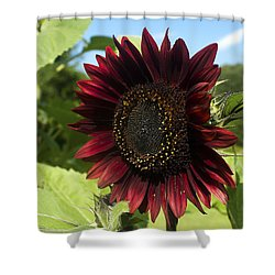 Evening Sun Sunflower #1 Shower Curtain