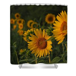 Evening Sunflowers Shower Curtain