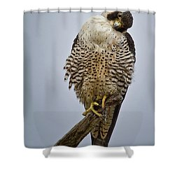 Falcon With Cocked Head Shower Curtain