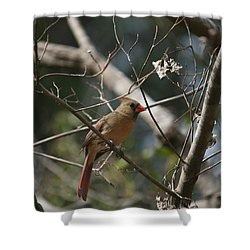 Female Cardinal 3 Shower Curtain
