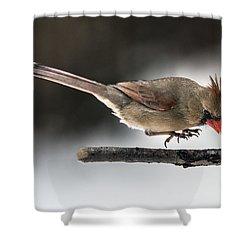 Female Cardinal Landing On Branch Shower Curtain