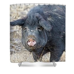Shower Curtain featuring the photograph Female Hog by James BO Insogna