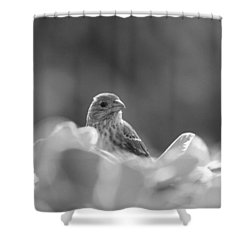 Female House Finch Perched In Black And White Shower Curtain