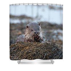 Female Otter Eating Shower Curtain