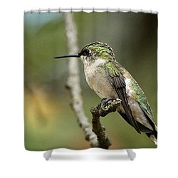 Female Ruby-throated Hummingbird On Branch Shower Curtain by Sheila Brown