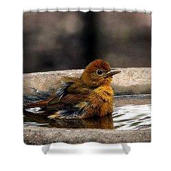 Female Summer Tanager In Bird Bath Shower Curtain