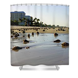 Fighting Conchs At Lowdermilk Park Beach In Naples, Fl  Shower Curtain by Robb Stan