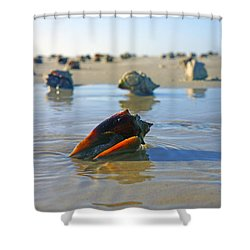 Fighting Conchs On The Sandbar Shower Curtain by Robb Stan