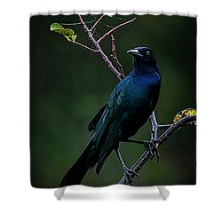 Male Boat-tailed Grackle Shower Curtain by Cyndy Doty