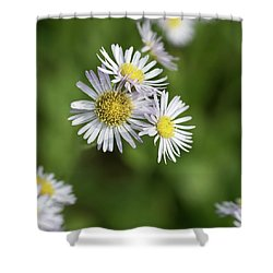 Fleabane, Erigeron Pulchellus - Shower Curtain