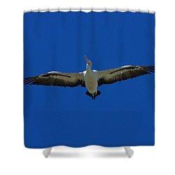 Flight Of The Pelican Shower Curtain by Blair Stuart