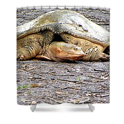 Shower Curtain featuring the photograph Florida Softshell Turtle 000 by Chris Mercer