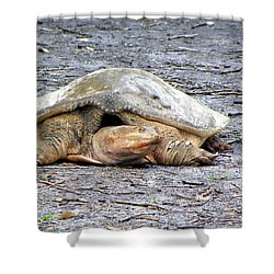 Shower Curtain featuring the photograph Florida Softshell Turtle 001 by Chris Mercer