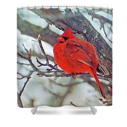 Fluffed Up Male Cardinal Shower Curtain