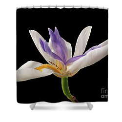 Fortnight Lily On Black Shower Curtain