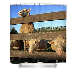 Four Sheep At A Fence Shower Curtain