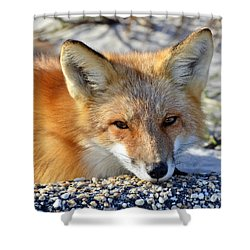 Fox Posing For Me Shower Curtain by Sami Martin