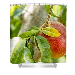 Fresh Peach Hanging In Orchard Shower Curtain