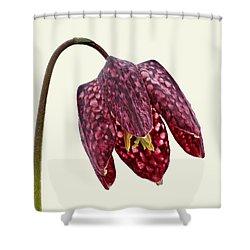 Fritillaria Meleagris - Cream Background Shower Curtain