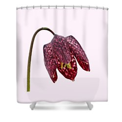 Shower Curtain featuring the photograph Fritillaria Meleagris Transparent Background by Paul Gulliver