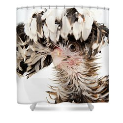 Frizzle Tolbount Polish Hen Shower Curtain