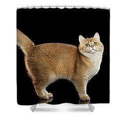 Funny British Cat Golden Color Of Fur Shower Curtain