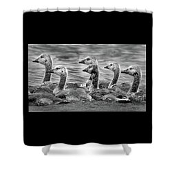 Gaggle Of Goslings Shower Curtain