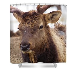 Shower Curtain featuring the photograph Gaze From A Bull Elk by Jeff Swan