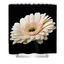 Shower Curtain featuring the photograph Gerbera Daisy On Black II by Clare Bambers