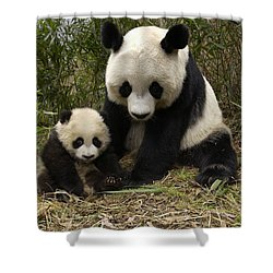 Shower Curtain featuring the photograph Giant Panda Ailuropoda Melanoleuca by Katherine Feng