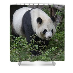 Giant Panda Shower Curtain by Wade Aiken