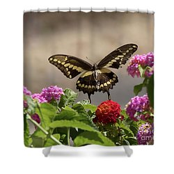 Giant Swallowtail Butterfly Shower Curtain by Anne Rodkin