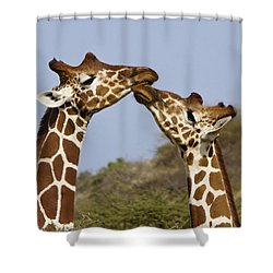 Giraffe Kisses Shower Curtain by Michele Burgess