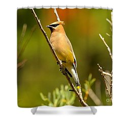Glacier Cedar Waxwing Shower Curtain by Adam Jewell