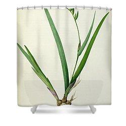 Gladiolus Cardinalis Shower Curtain by Pierre Joseph Redoute