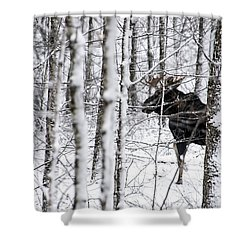 Glimpse Of Bull Moose Shower Curtain