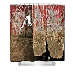 Shower Curtain featuring the photograph Goat And Old Barn Door by Susan Leggett