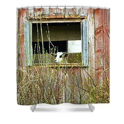 Goat In The Window Shower Curtain by Donald C Morgan