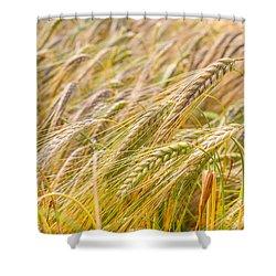 Golden Barley. Shower Curtain