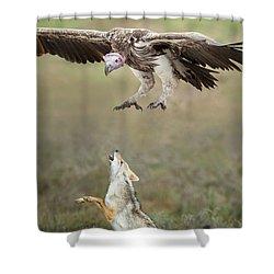 Golden Jackal, Canis Aureus, Leaping At Vulture Shower Curtain